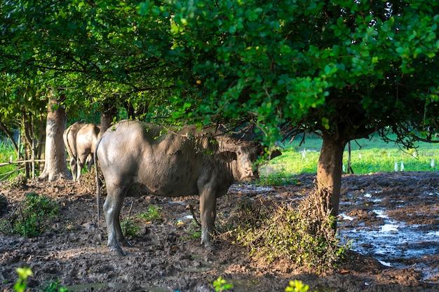 Búfalo de água asiática no campo agrícola, tailândia