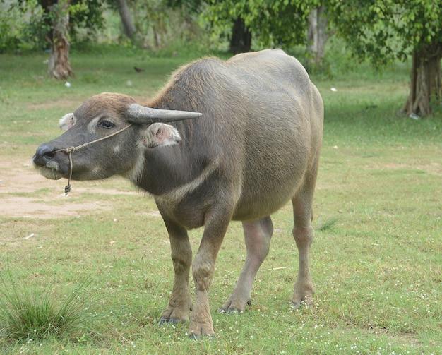 Búfalo de água negra asiática no campo de grama