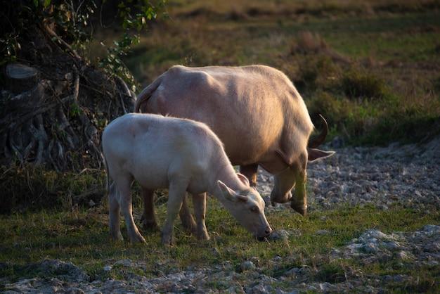 Búfalo de água no arrozal ao pôr do sol