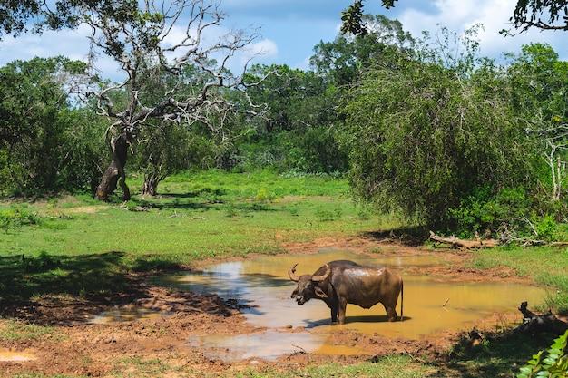 Búfalo de água no parque nacional de yala