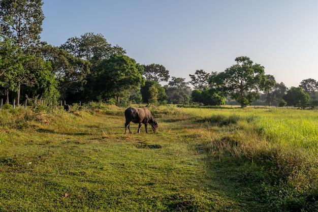 Búfalo de água que grama ao longo das margens da área do pantanal de huay saneng na província de surin da tailândia.