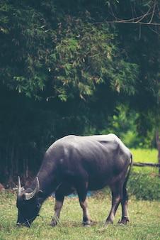 Búfalo de água tailandesa, imagem de filtro vintage