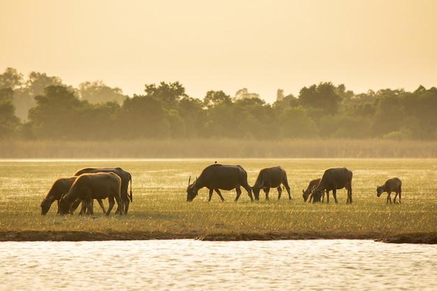 Búfalo de pântano tailandês no pântano de turfa ao redor da lagoa