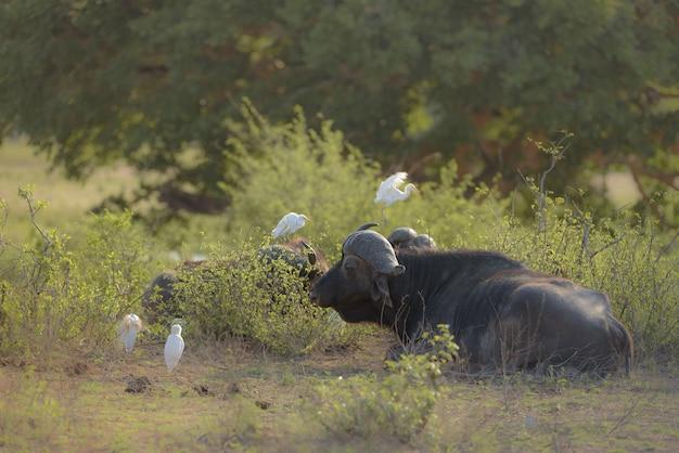 Búfalo deitado no chão perto de plantas verdes