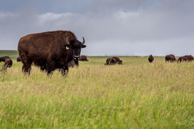 Búfalo do bisonte das planícies que pasta em um pasto em saskatchewan, canadá