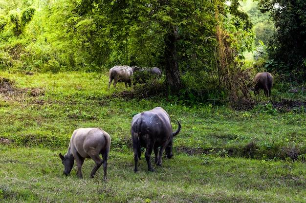 Búfalo em pé e grama pastando na luz da manhã