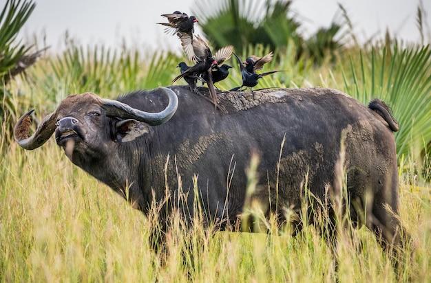Búfalo na savana com pássaros nas costas