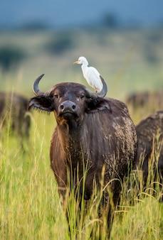 Búfalo na savana de uma garça-real de costas