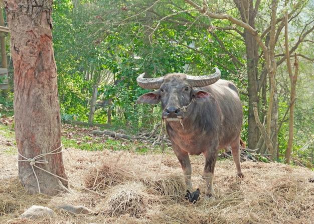 Búfalo na tailândia. búfalos no campo comendo a grama