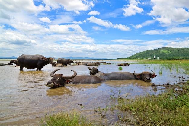 Búfalo na tailândia que estão mentindo água para resfriar