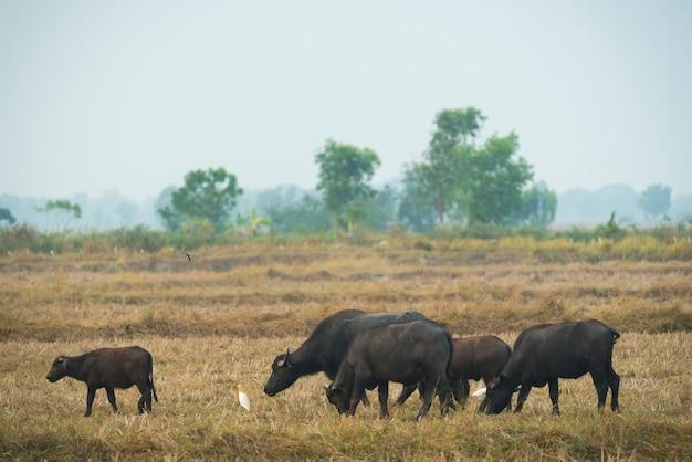 Búfalo no campo da tailândia