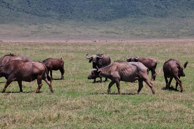 Búfalo no safari no quênia e na tanzânia, áfrica