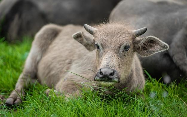 Búfalo pastando no pasto