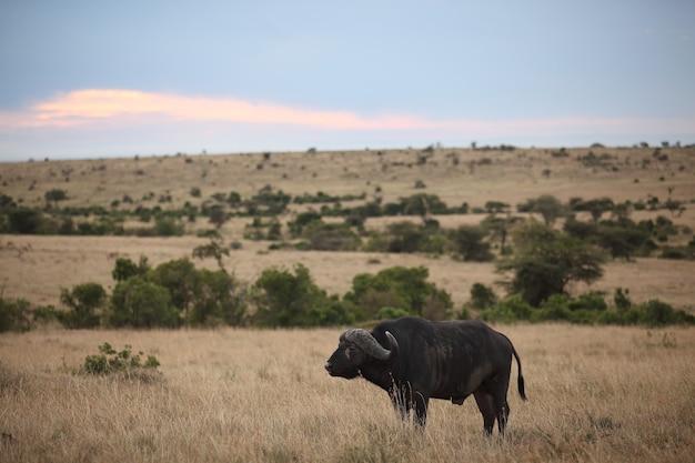 Búfalo preto grande em um campo com as nuvens coloridas