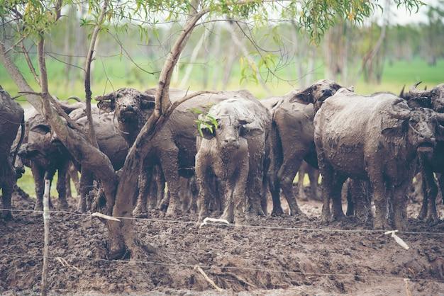 Búfalo que cultiva no campo de tailândia.