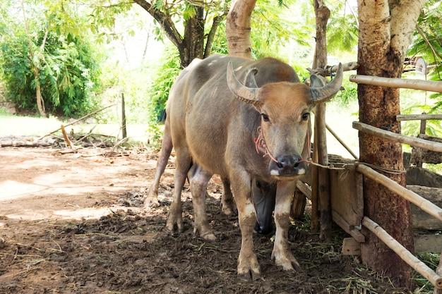 Búfalo swamp em corral. animal para ajuda no campo de arroz.