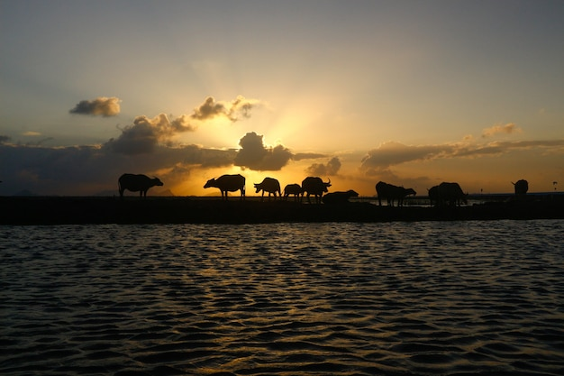 Búfalo tailandês à noite