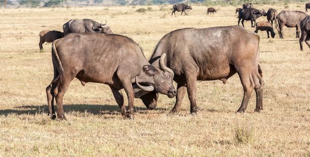 Búfalos africanos selvagens. quênia, áfrica