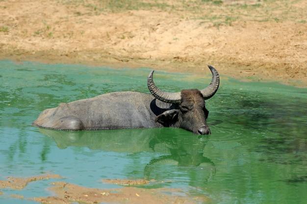 Búfalos aquáticos estão se banhando em um lago no sri lanka