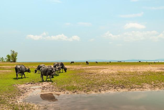 Búfalos asiáticos comendo grama ao lado do lago.