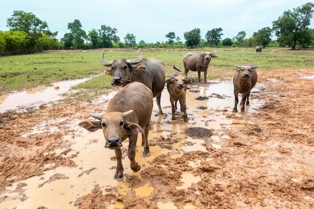 Búfalos da tailândia no campo de arroz