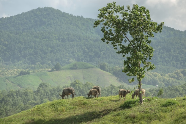 Búfalos de água pastando no campo ensolarado verde e olhando para trás na colina