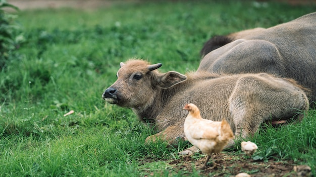 Búfalos e frango no campo