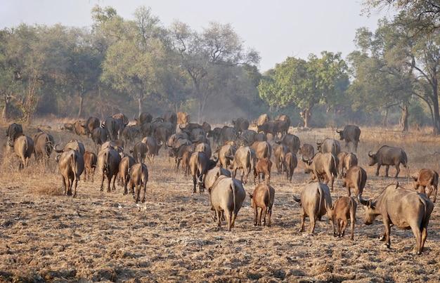 Búfalos em south luangwa - zâmbia