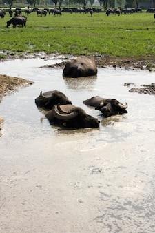 Búfalos em uma água barrenta