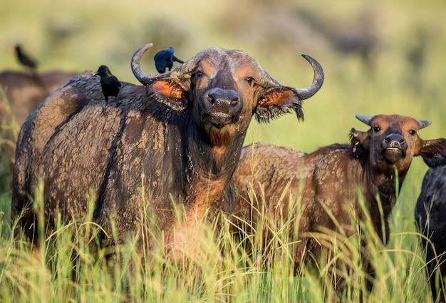 Búfalos na savana