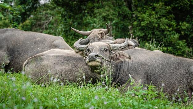 Búfalos no campo verde