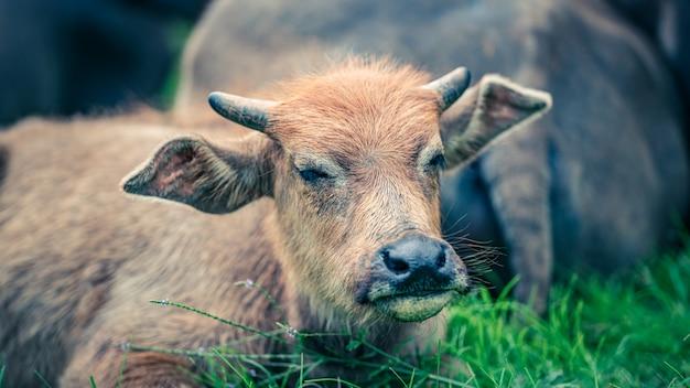 Búfalos no campo