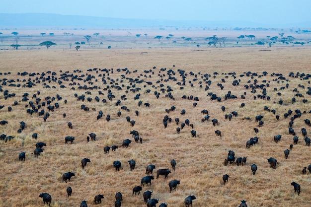 Búfalos no parque nacional serengeti - tanzânia