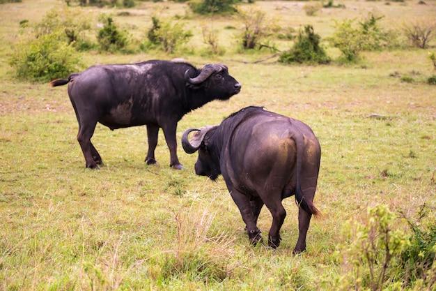 Búfalos parados na savana no meio de um campo