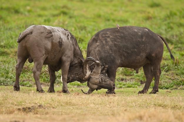 Buffalo fighting