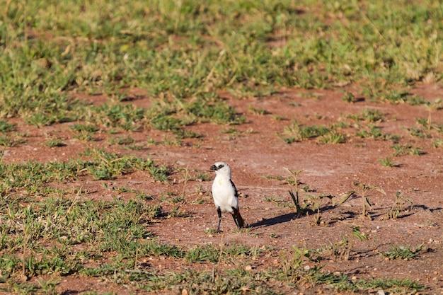 Buffalo-weaver de cabeça branca. serengeti, tanzânia