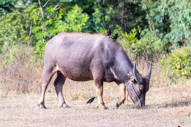 Buffalow está comendo copo no campo