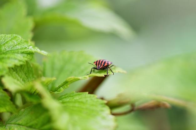 Bug com listras vermelhas e pretas, sentado em uma folha verde