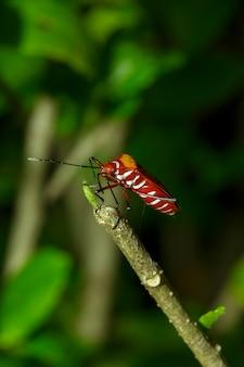 Bug de algodão vermelho nas filiais