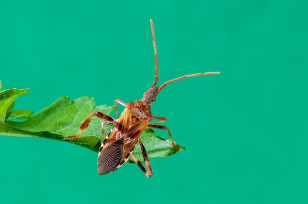 Bug de semente de conífera ocidental pendurado na folha