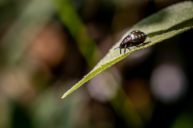 Bug do escudo verde do sul ou inseto vegetal verde na folha de girassol no jardim