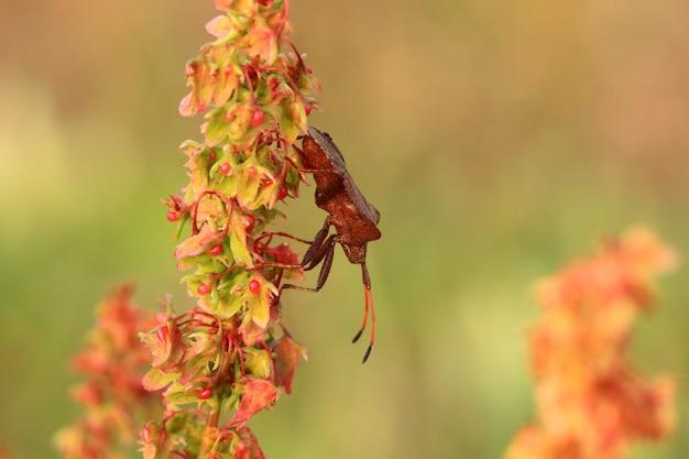 Bug, percevejo marrom na delicada flor no verão