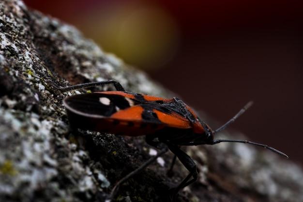 Bug vermelho em uma rocha