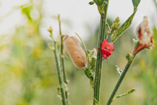Bug vermelho soilder