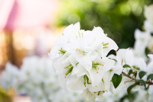 Buganvília branca linda.