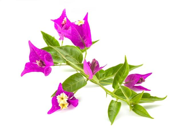 Buganvília rosa isolada