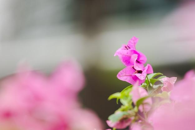 Buganvílias classificadas como flores ornamentais que geralmente são cultivadas em casas