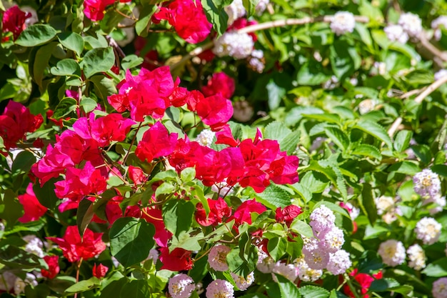Buganvílias espectabilis também conhecidas como buganvílias grandes