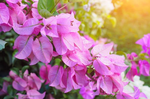 Buganvílias florescendo no jardim de flor