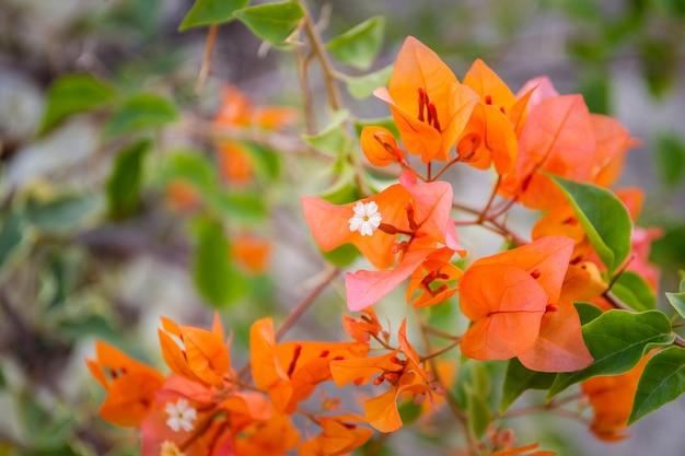 Buganvílias laranja linda.